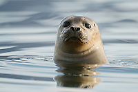 12.06.2008.Common seal (Phoca vitulina).Jökulsárlón glacial lagoon. Iceland