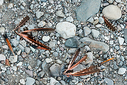 Feathers in creakbed of Seco Creek, Ladder Ranch, west of Truth or Consequences, New Mexico, USA.