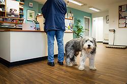 A dog waits in reception at Rushcliffe Veterinary Centre, West Bridgford, Nottingham, UK.<br /> Photo: Ed Maynard<br /> 07976 239803<br /> www.edmaynard.com