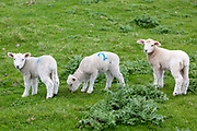 Young Romney lambs grazing on the marshland on the Romney Marsh, Kent, United Kingdom. Lambs are usually marked with spray paint so they can be identified by farmers.