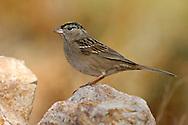 Golden-crowned Sparrow - Zonotrichia atricapilla - non-breeding adult