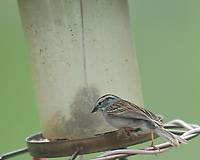 Chipping Sparrow at the bird feeder. Image taken with a Nikon D5 camera and 600 mm f/4 VR lens (ISO 720, 600 mm, f/5.6, 1/1250 sec).