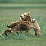 Alaskan Brown Bear (Ursus middendorffi) mother and her young cub. Alaskan Peninsula