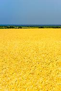 Wheat Field, Ocean, Wainscott, NY