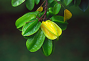 Star fruit, Hawaii<br />