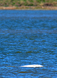 © Licensed to London News Pictures. 26/09/2018<br /> GRAVESEND, UK.<br /> The Beluga whale is back in the Thames Estuary near Gravesend.<br /> Photo credit: Grant Falvey/LNP