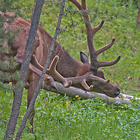 A Bull Elk (Cervus canadensis) grazes in Yellowstone National Park.