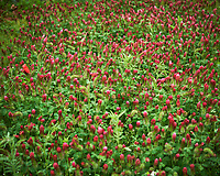 Crimson Clover. Image taken with a Nikon D850 camera and 60 mm f/2.8 macro lens