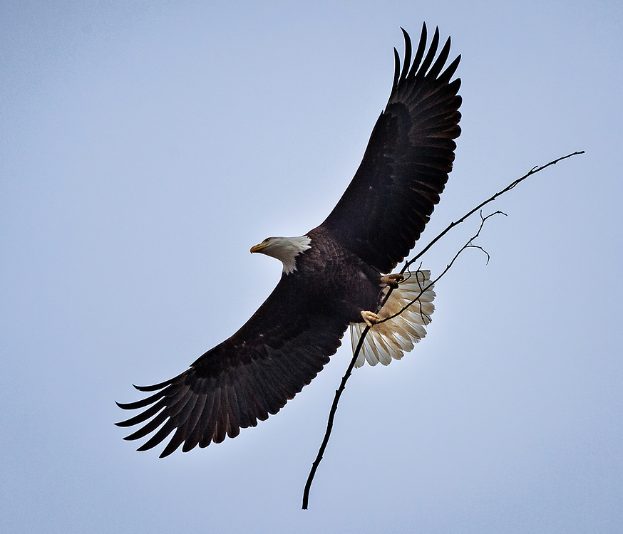 A bald eagle with stick in flight at Conowingo Dam in Maryland.