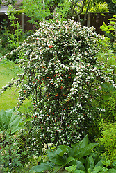 Weeping Cotoneaster dammeri 'Coral Beauty' syn. C. suecicus Coral Beauty
