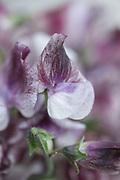 Lathyrus odoratus 'Senator' - sweet pea