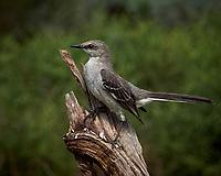 Northern Mockingbird (Mimus polyglottos). Campos Viejos, Texas. Image taken with a Nikon Df camera and 80-400 mm VRII lens