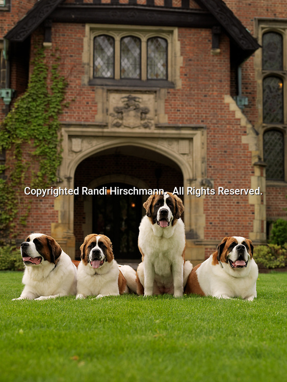 """St. Bernards, AKC, 5-year-olds April and May along with 9-month-olds """"Sugar"""" and """"Mocha"""" photographed in front of Manor House at Stan Hywet Hall & Gardens located in Akron, Ohio and owned by Cynthia Knight of Akron, Ohio.  (PR)"""
