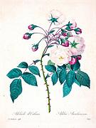 19th-century hand painted Engraving illustration of a Adelaide d`Orleans (Adelia Aurlianensis) flower, by Pierre-Joseph Redoute. Published in Choix Des Plus Belles Fleurs, Paris (1827). by Redouté, Pierre Joseph, 1759-1840.; Chapuis, Jean Baptiste.; Ernest Panckoucke.; Langois, Dr.; Bessin, R.; Victor, fl. ca. 1820-1850.