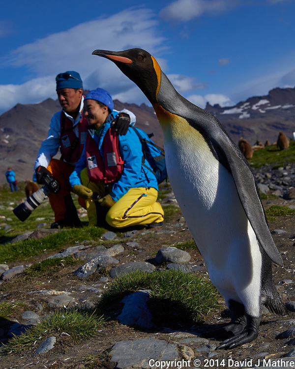 Photobombed by a King Penguin on South Georgia Island. Image taken with a Leica T camera and 18-56 mm lens (ISO 100, 30 mm, f/4.6, 1/4000 sec). Raw image processed with Capture One Pro 8, Focus Magic, and Photoshop CC.