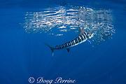 shiny fish scales drift down into the water as a striped marlin, Kajikia audax (formerly Tetrapturus audax ), feeds on bait ball of sardines, Sardinops sagax, off Baja California, Mexico ( Eastern Pacific Ocean )