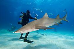 Lemon Shark, Negaprion brevirostris, and scuba divers, West End, Grand Bahama, Bahamas, Caribbean, Atlantic Ocean