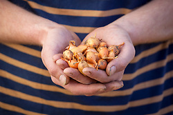 Holding a handful of onion sets ready for planting out in spring. Allium cepa