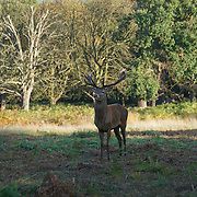 London,England,UK: 26th October 2016: Red deer roam the park during the autumnal rutting season' at Richmond park, London,UK. Photo by See Li