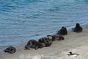 California sea otters or southern sea otters, Enhydra lutris nereis ( threatened species ), basking on the beach, along with a loon, Gavia immer, at Elkhorn Slough, Moss Landing, California, United States ( Eastern Pacific ); this is the only location where Pacific sea otters are known to come ashore regularly