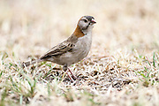 Speckle-Fronted Weaver (Sporopipes frontalis). Photographed in Tanzania