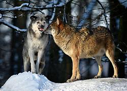 28.12.2014, Wildtierpark, Bad Mergentheim, GER, Wölfe im Wildtierpark Bad Mergentheim, im Bild Maennlicher und weiblicher Leitwolf, Alphawolf, Kontaktaufnahme, Timberwolf, Kanadischer Wolf (Canis lupus occidentalis) im Schnee, captive // Wolves in the Wildtierpark in Bad Mergentheim, Germany on 2014/12/28. EXPA Pictures © 2015, PhotoCredit: EXPA/ Eibner-Pressefoto/ Weber<br /> <br /> *****ATTENTION - OUT of GER*****