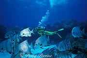 Atlantic spadefish, Chaetodipterus faber, Molasses Reef, Florida Keys National Marine Sanctuary, Key Largo, Florida ( Western Atlantic Ocean ) MR 130