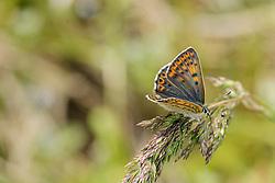 Violette vuurvlinder, Lycaena alciphron