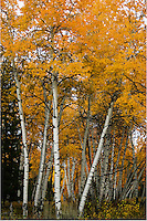 Aspen trees are abundent in the Teton valley and turn orange, yellow, and gold during the fall.