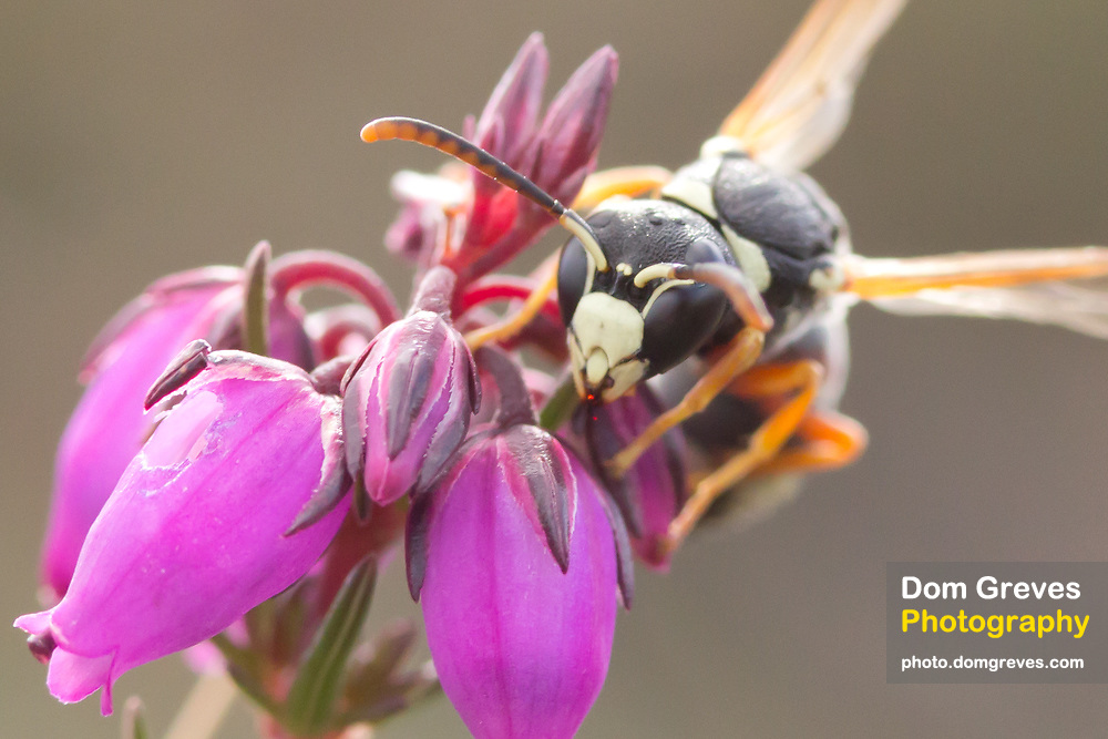 Purbeck mason wasp (Pseudepipona herrichii) male on bell heather. Dorset, UK.