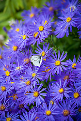 Butterfly on Aster amellus 'Veilchenkönigin' AGM - 'Violet Queen'