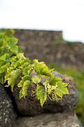 Vine shoots and volcanic rock wall, Pantellera Island (Sicily), Italy