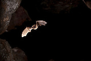 a western small-footed bat (Myotis ciliolabrum) exits Pond Cave in Craters of the Moon National Monument, Idaho.