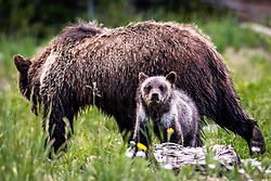 A tenacious little grizzly cub named Pepper that roams the Bridger Teton National Forest of Northwest Wyoming.  He got separated from his mother for three weeks and survived on his own at only 4-months old until he found his mother again.
