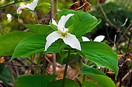 A Western Trillium (Trillium ovatum) plant blooms in early Spring at Campbell Valley Park, British Columbia, Canada
