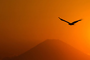 A Black Kite (Milvus migrans)  in silhouette flies in front of Mount Fuji at sunset in Miura, Kanagawa, Japan Friday May 4th 2018