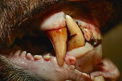 Dead Black Bear Teeth