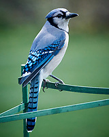 Blue Jay (Cyanocitta cristata). Image taken with a Nikon 1 V3 camera and 70-300 mm VR lens.