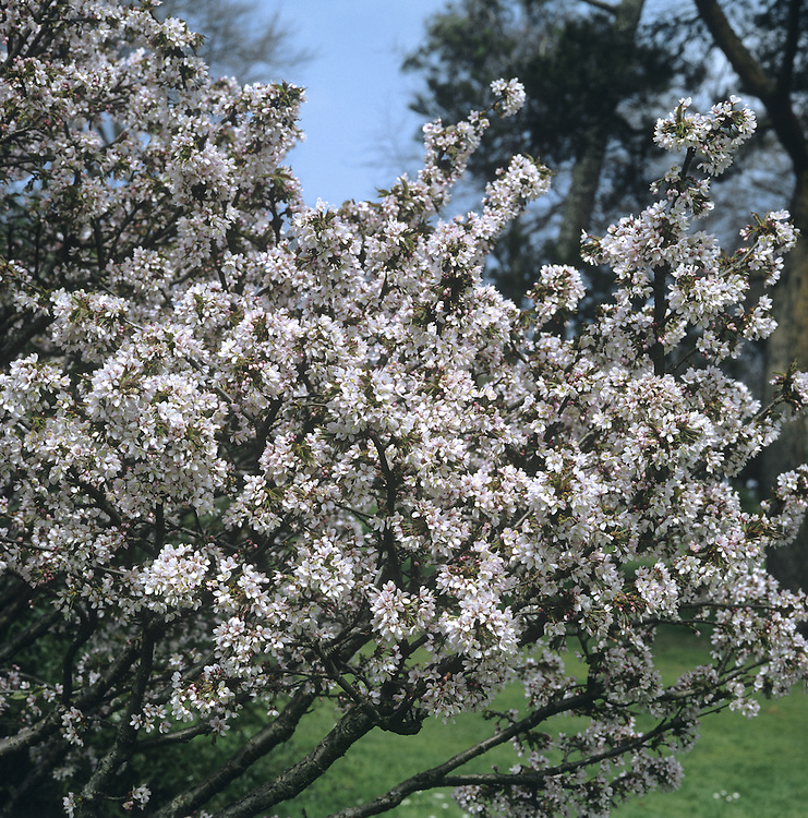 Spring Cherry Prunus subhirtella (Rosaceae) HEIGHT to 20m <br /> Densely crowned deciduous tree. BARK Greyish-brown. BRANCHES Slender, with many downy, crimson twigs. LEAVES To 6cm long ovate to lanceolate with a long-pointed tip and irregularly toothed margin; veins downy below. On a 1cm-long crimson, downy petiole. REPRODUCTIVE PARTS Pinkish-white short-stalked flowers open just before leaves in March or April; petals are about 1cm long and notched. Purplish-black fruits are rounded but seldom produced. STATUS AND DISTRIBUTION Native of Japan, commonly planted as a street and garden tree in Britain and Ireland.