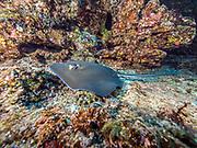 Southern stingray  in Revillagigedo (Socorro), MX