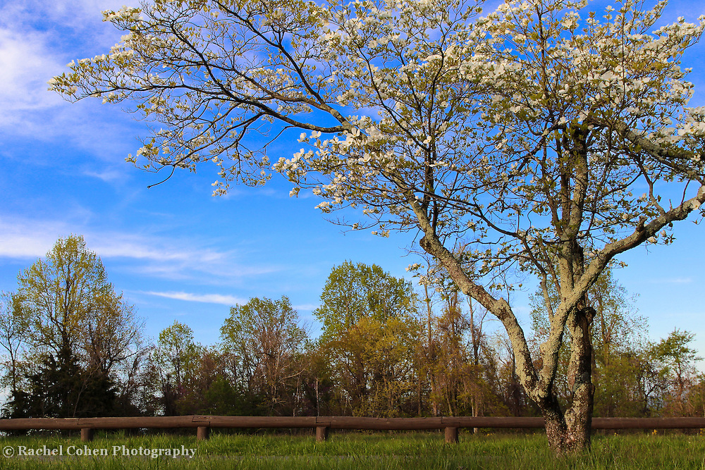 """""""Dogwood Blossoms at Dickey Ridge""""<br /> <br /> Beautiful Dogwood blossoms in white cast against the blue sky at Dickey Ridge Visitors Center in Shenandoah National Park!!<br /> <br /> The Blue Ridge Mountains by Rachel Cohen"""