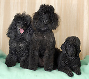 3 black miniature poodles facing camera. two sitting and one lying down. Property release available