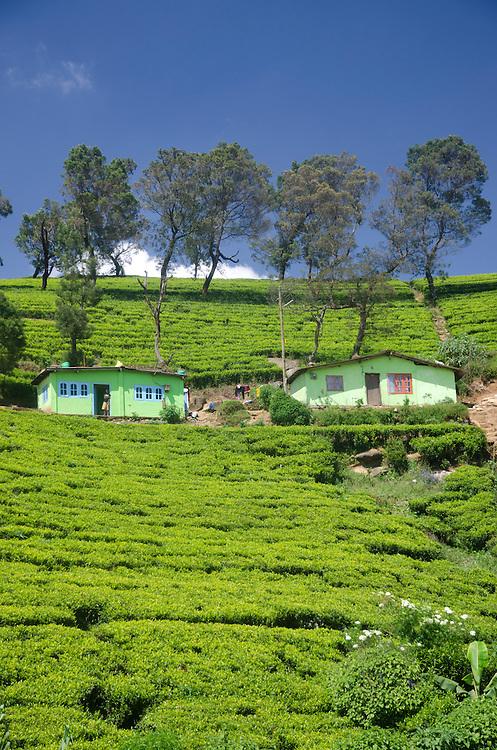 Pedro Tea Estate near Nuwara Eliya, Southern Highlands, Sri Lanka