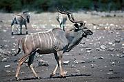 Lesser Kudu, Tragelaphus imberbis, Namibia, male walking, antlers