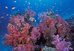 An emperor angelfish, Pomacanthus imperator, glides among thriving soft corals, Dendonepthya sp., and schooling anthias, Similan Islands Marine National Park, Thailand, Andaman Sea