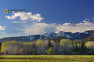 Aspen grove just greening up in spring with Big Mountain in background in Whitefish, Montana, USA