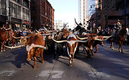 DENVER, CO - JANUARY 04: Longhorn steers are marched through downtown in the National Western Stockshow parade on January 4, 2018 in Denver, Colorado. The parade is the traditional opening to the show now in its 112th year. (Photo by Rick Wilking/Getty Images)