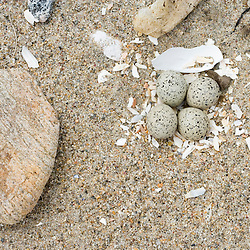 A Piping plover nest, Charadrius melodus, on the beach at Griswold Point in Old Lyme, Connecticut.  Nature Conservancy Preserve.