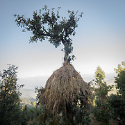 Hay stacked on a tree. In the Himalaya.