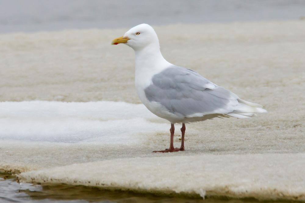 Glaucous Gull - Larus hyperboreus - Adult breeding